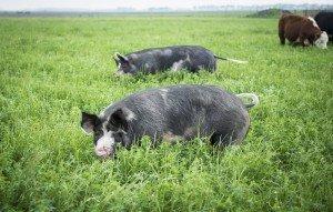 berkshire hogs on pasture