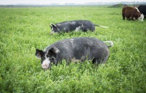 berkshire hogs on pasture